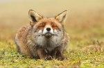 smiling-fox